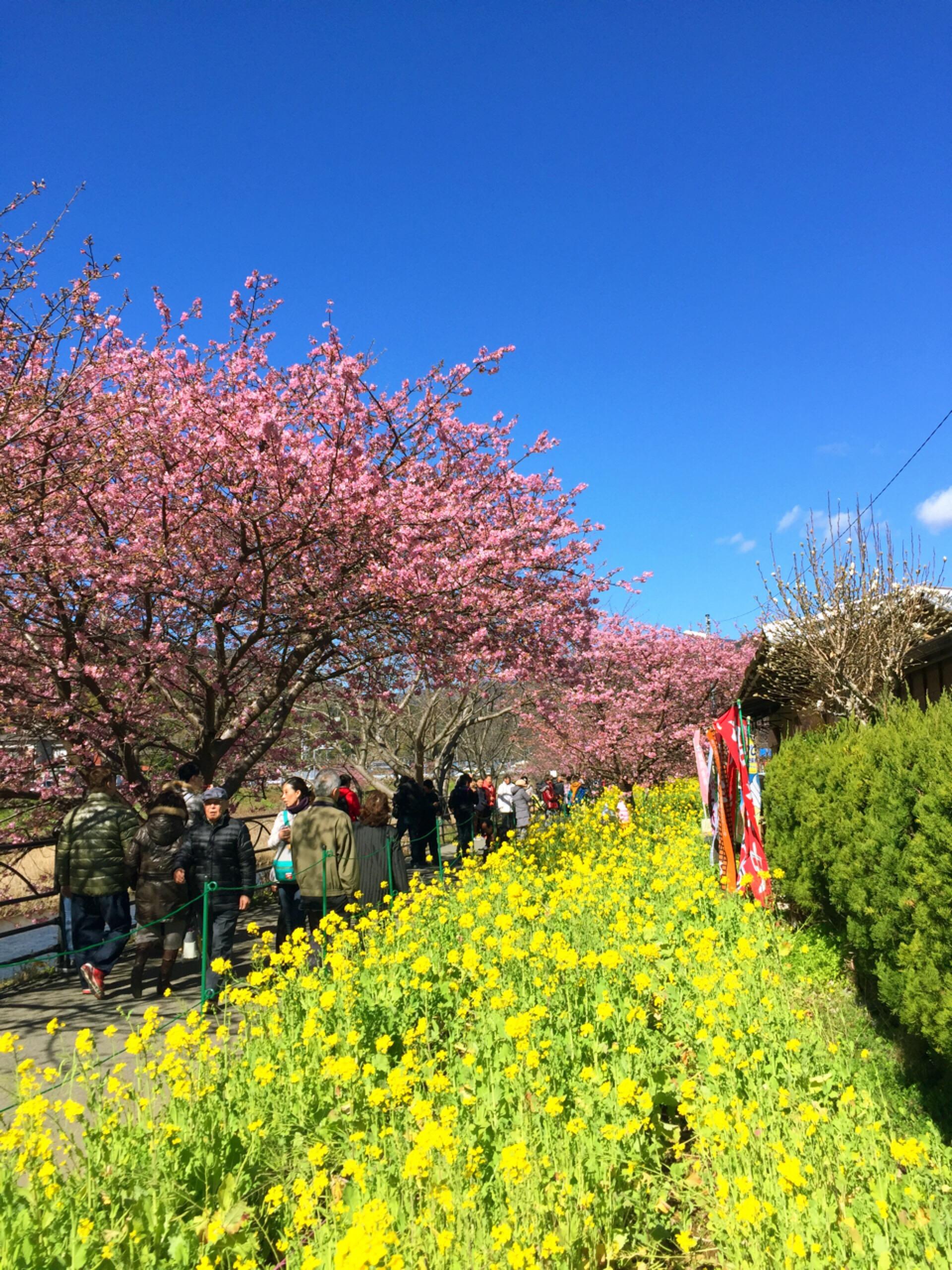 河津桜とストライプネイル